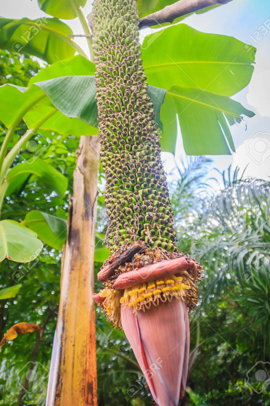 Amazing Thousand Finger Banana Fruits On Tree Musa Chiliocarpa