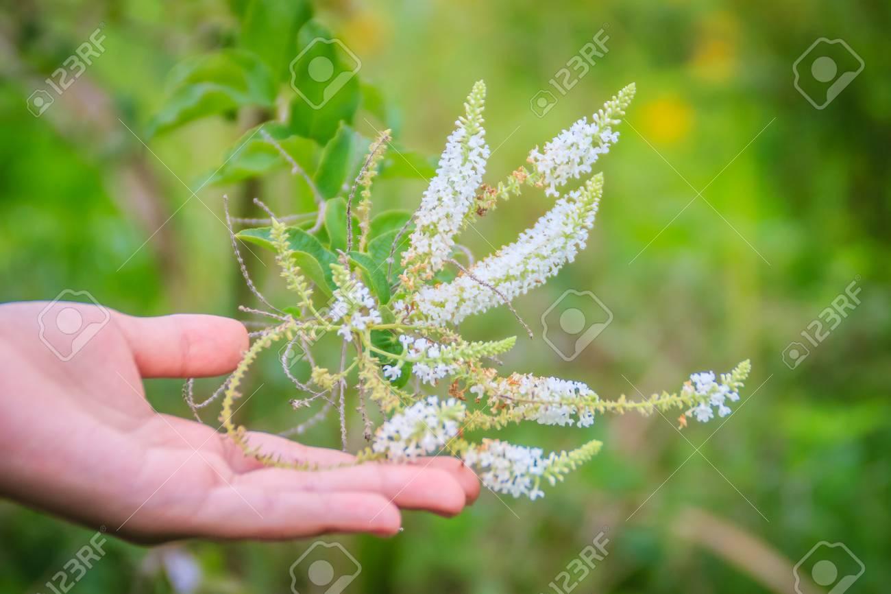 Tiny White Fragrant Flower Buddleja Paniculata With Green Leaves
