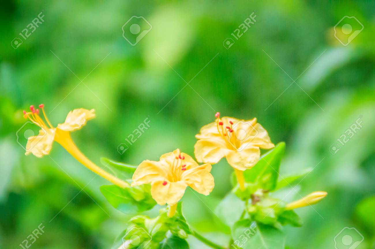 Beautiful Yellow Flower Of Mirabilis Jalapa The Marvel Of Peru