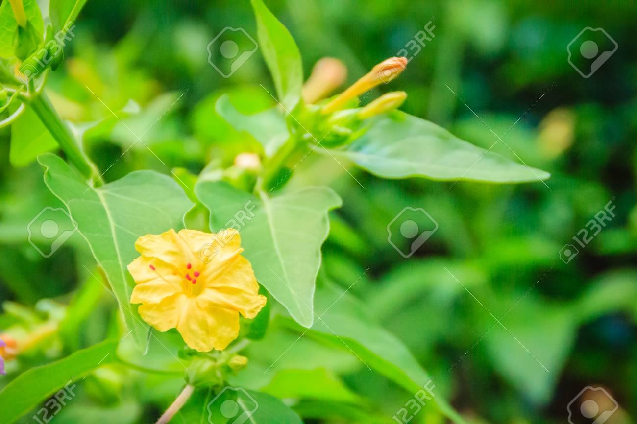 Beautiful Yellow Flower Of Mirabilis Jalapa The Marvel Of Peru