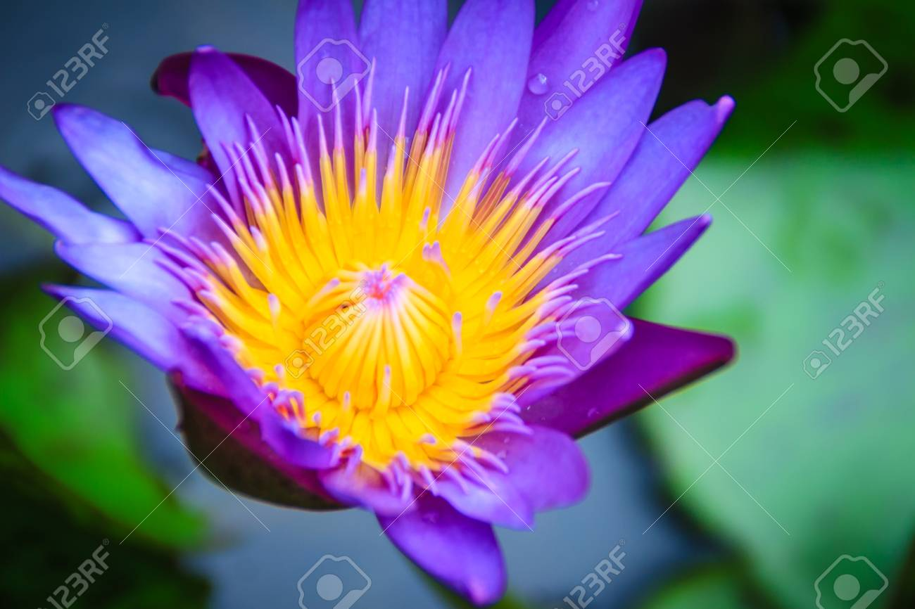 Close Up Hybrid Purple Lotus Flower King Of Siam A Tropical