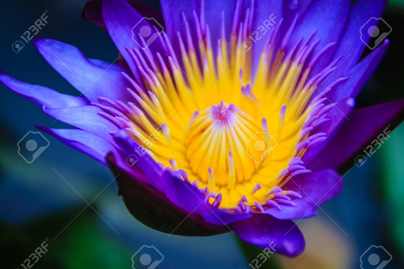 Close up hybrid purple lotus flower king of siam a tropical close up hybrid purple lotus flower king of siam a mightylinksfo