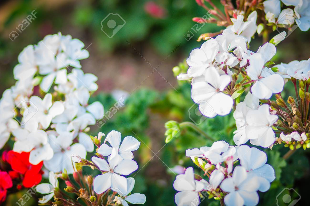 Beautiful White Flowers Of Pelargonium Peltatum On The Flowerbed