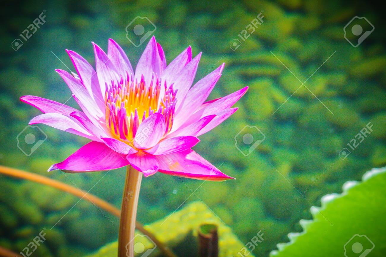 Purple Lotus With Yellow Pollen Close Up Hybrid Purple Lotus Flower