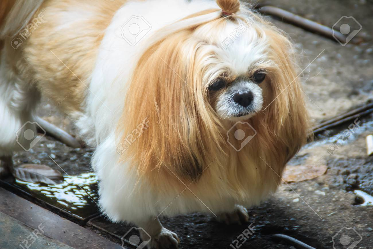 Cute Long Haired Shih Tzu Dog Is Standin On Dirty Floor And Look
