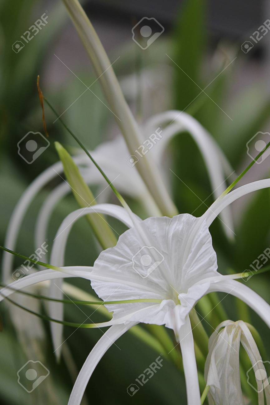 White spider lily flower stock photo picture and royalty free image stock photo white spider lily flower izmirmasajfo