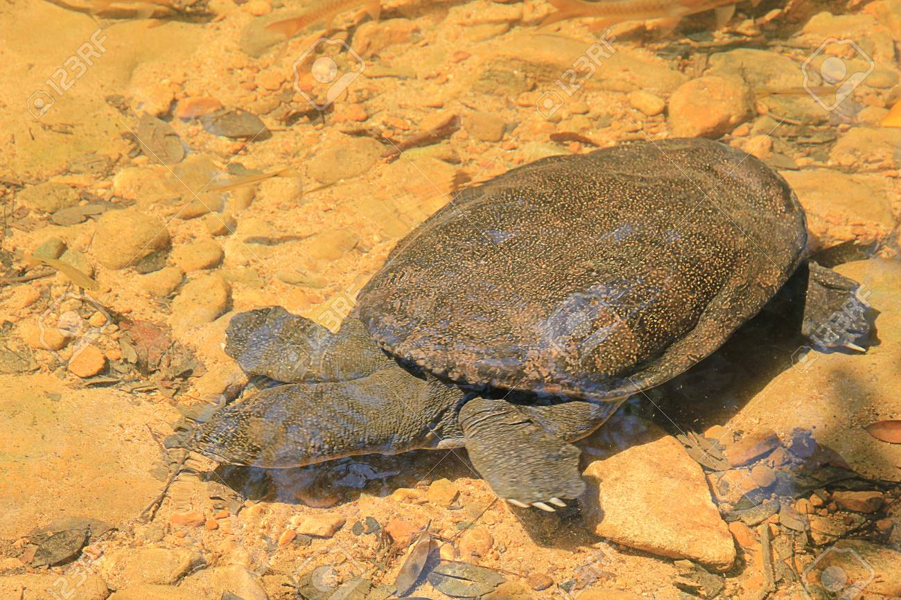 Snapping turtle in the river