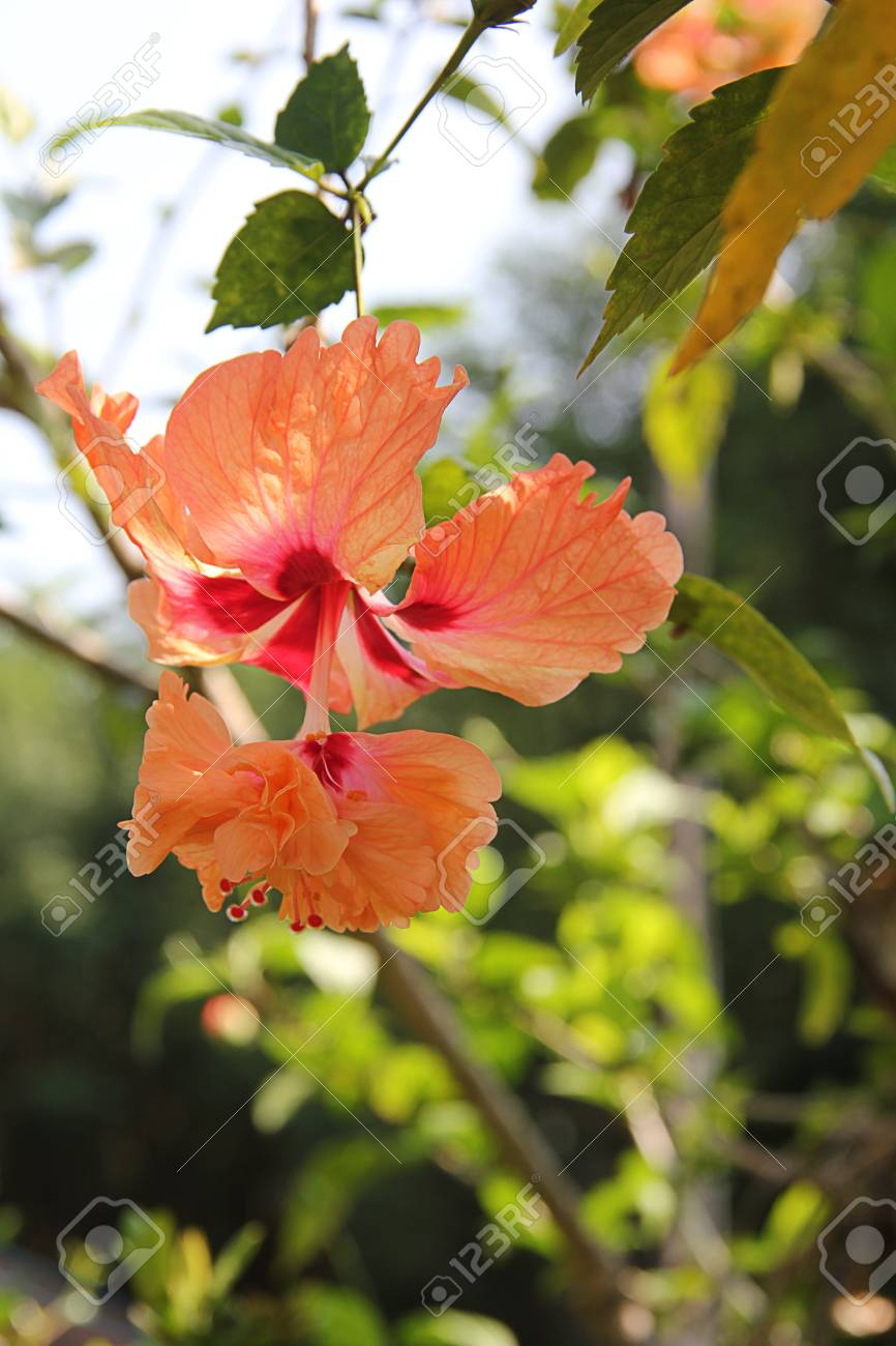 Orange Double Hibiscus Flower Stock Photo Picture And Royalty Free