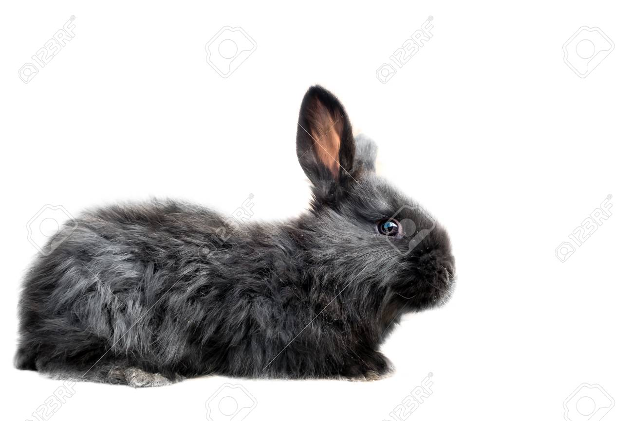 Baby Of Black Oryctolagus Cuniculus Domesticus Flemish Giant