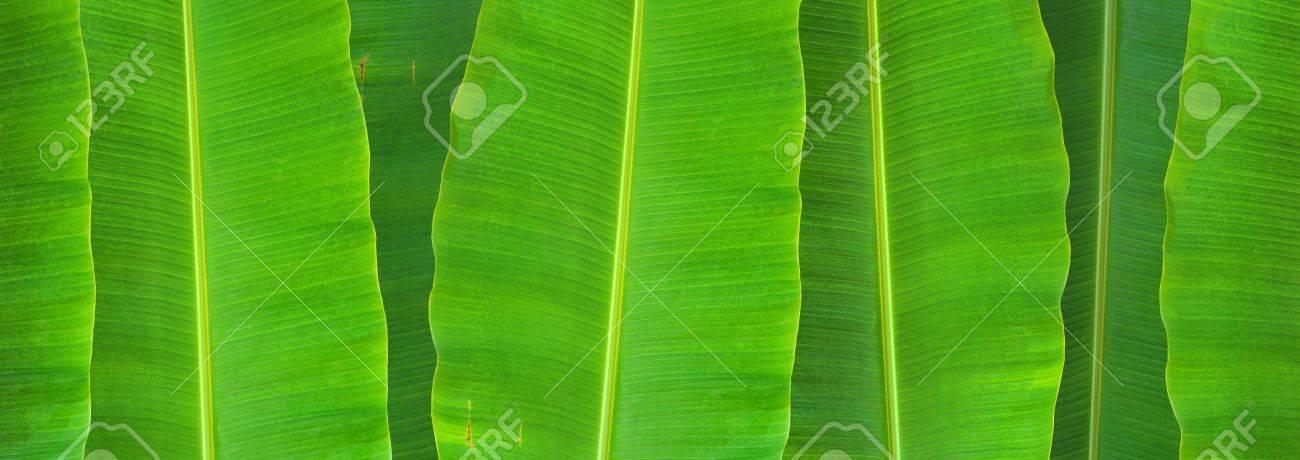 banana leaf background Stock Photo - 9647966