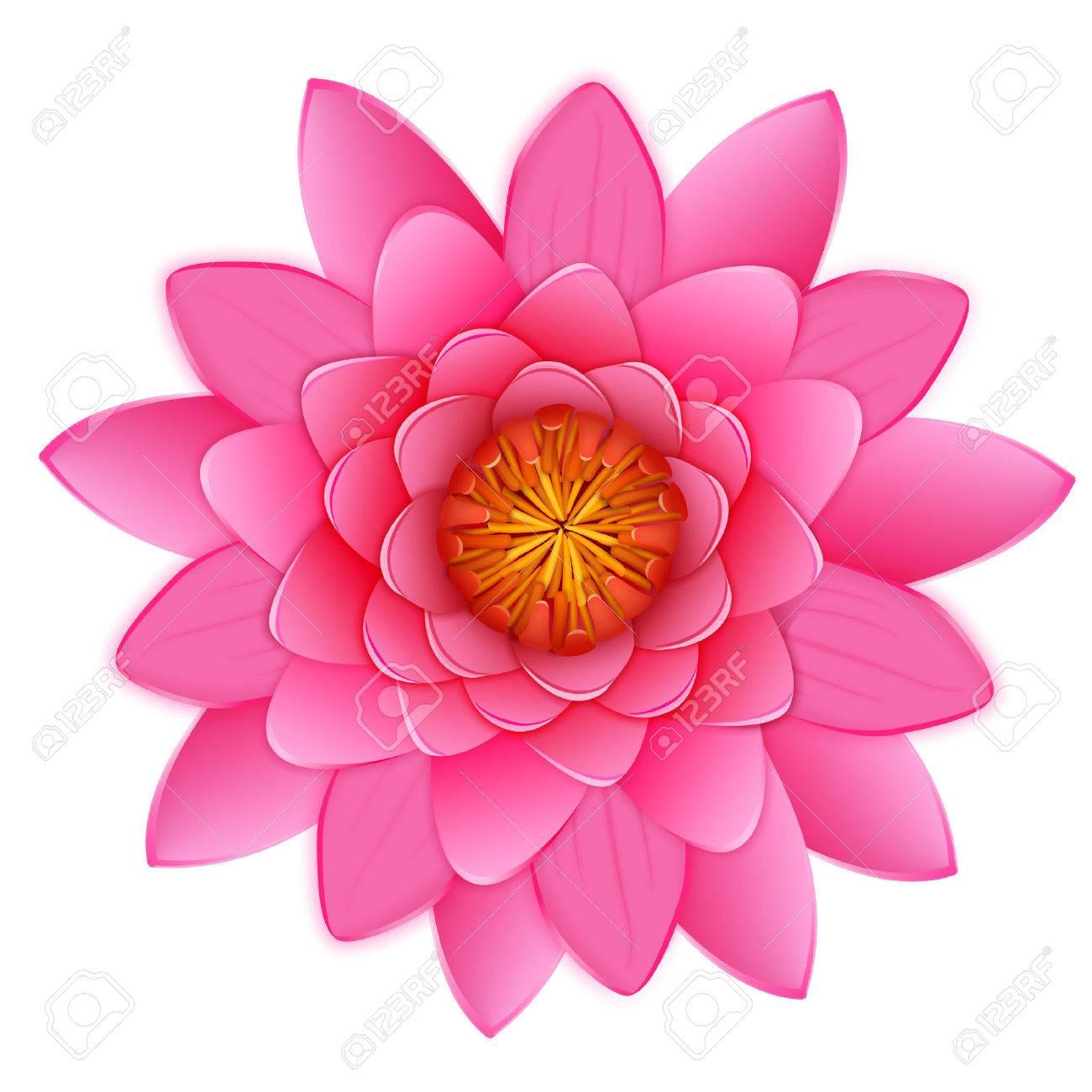 Belle Lotus Ou Nenuphar Fleur Rose Isole Sur Fond Blanc Vector