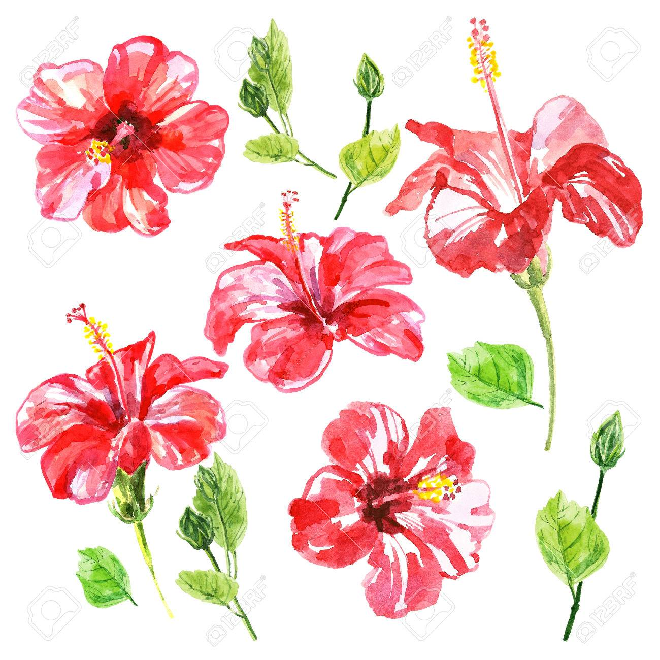 Set of red watercolor hibiscus flower illustration isolated stock illustration set of red watercolor hibiscus flower illustration isolated on white background colorful floral collection with leaves and flowers izmirmasajfo