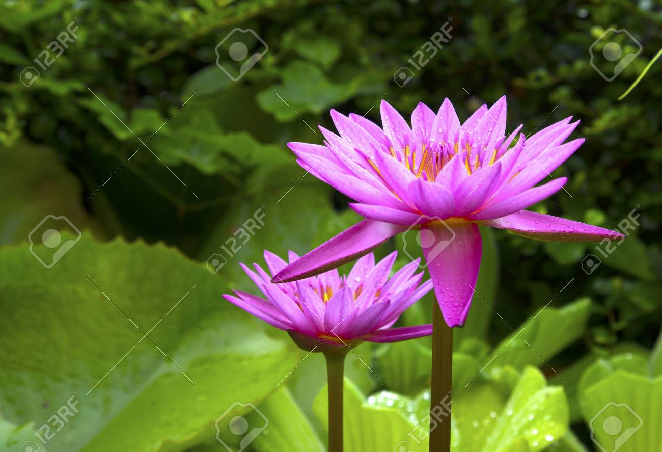 This Beautiful Lotus Flower Is Complimented By The Rich Colors