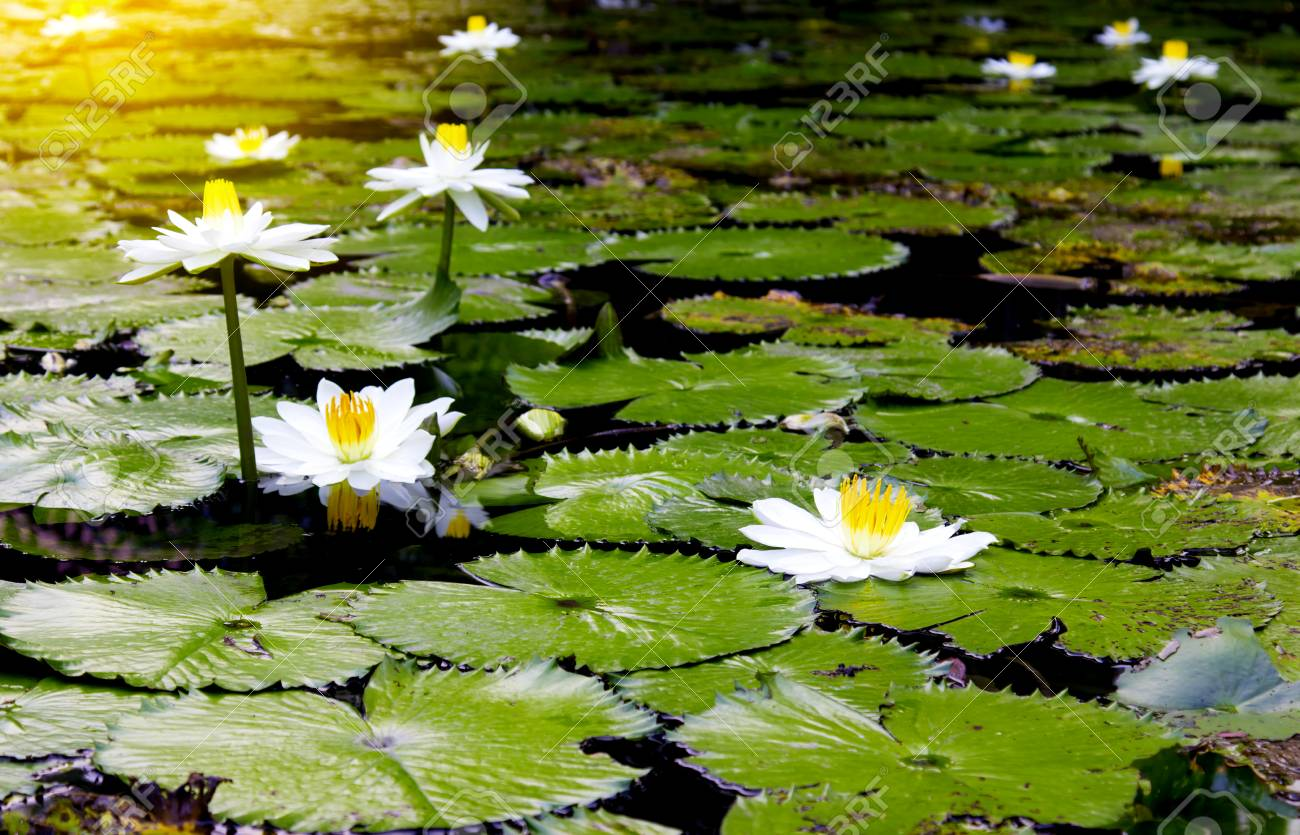 The Beautiful White Lotus Flower Or Water Lily Reflection With