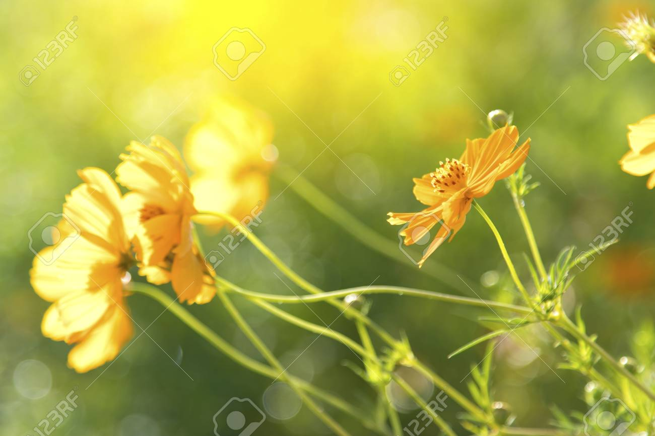 Yellow Flowers Cosmos Bloom Beautifully To The Morning Light Stock