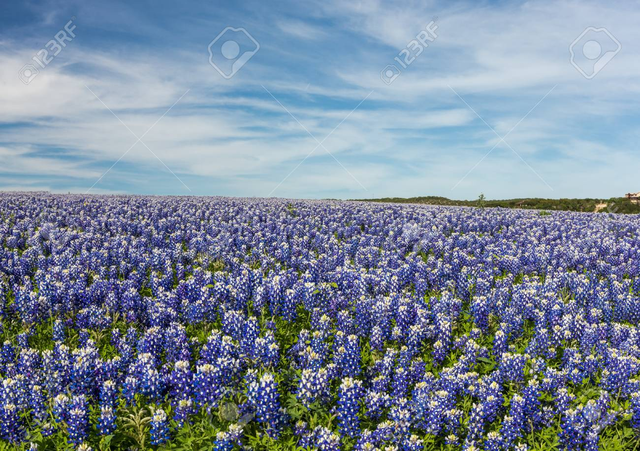 Blue Skies Of Texas >> Texas Bluebonnet Filed And Blue Sky Background In Muleshoe Bend
