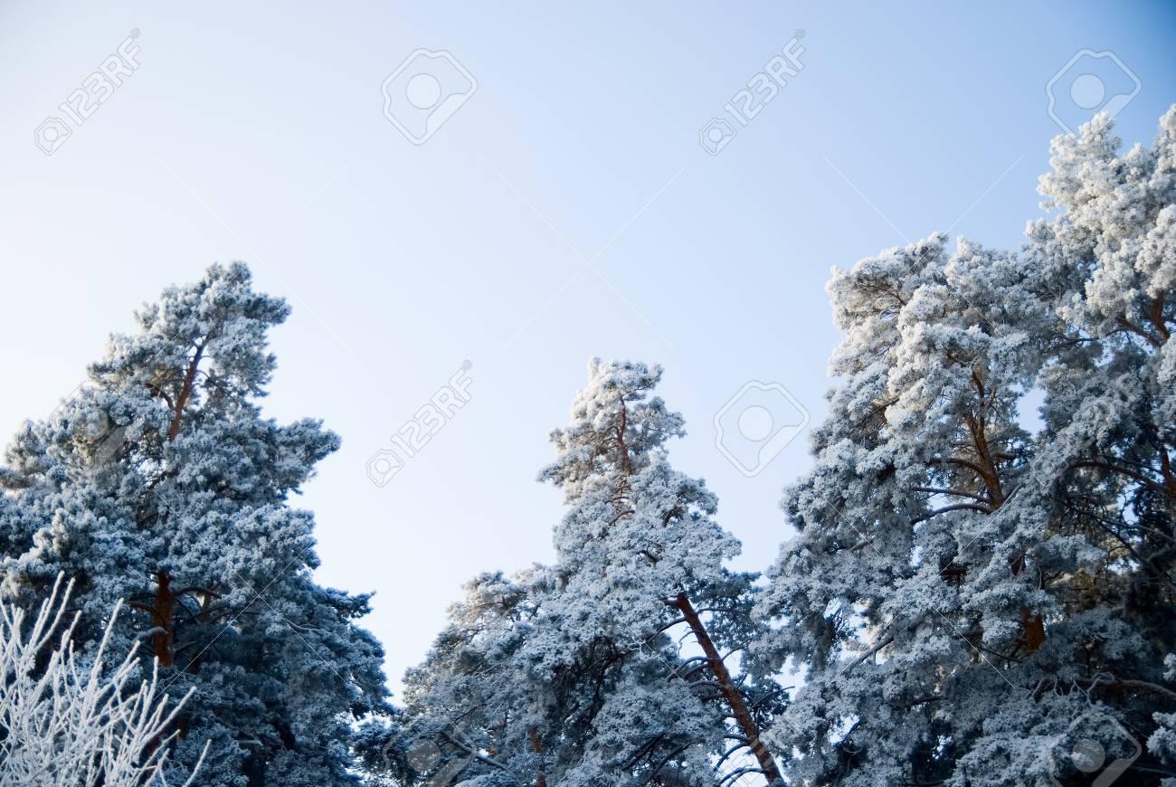top of scotch fir on background sky. Stock Photo - 17354458