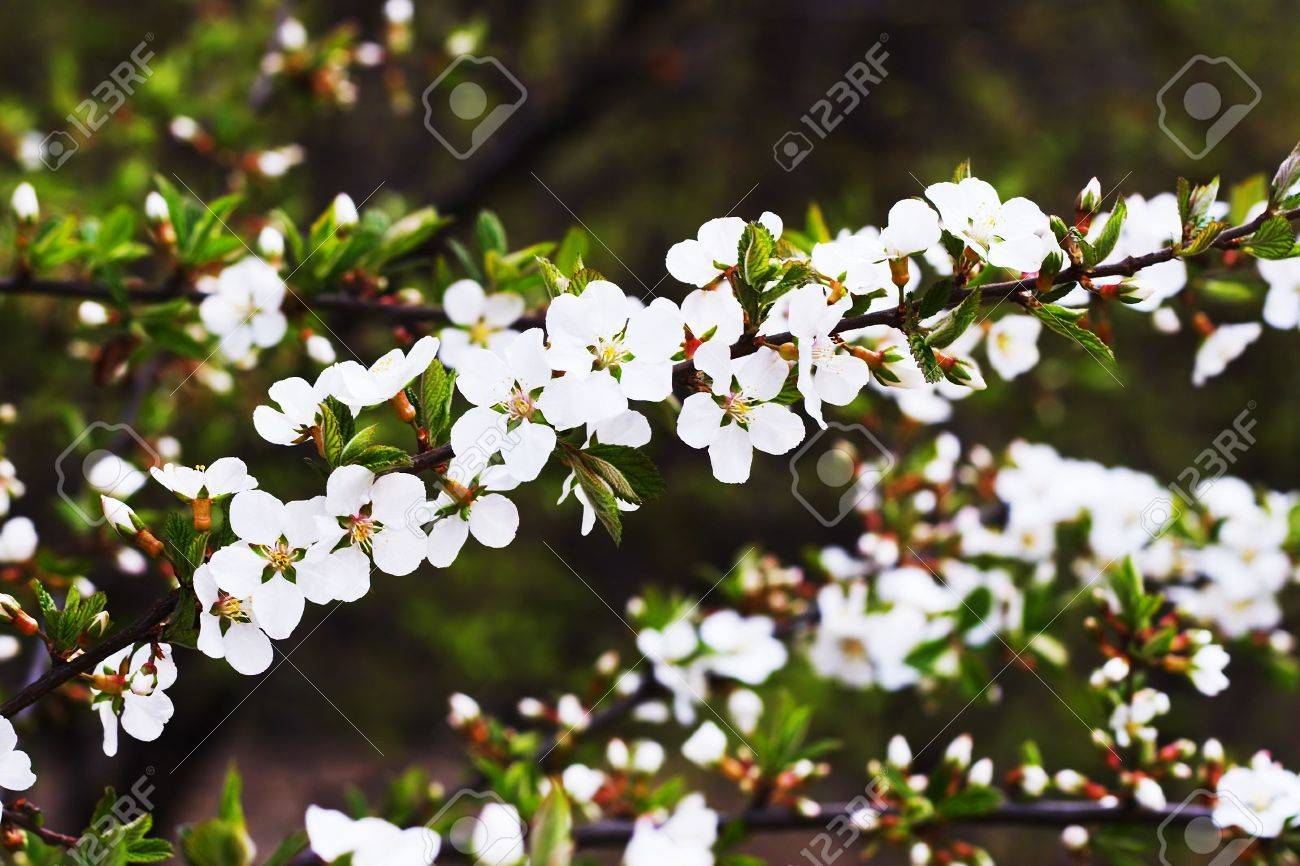 branches of cherry blossoms (sakura) representing the arrival of spring - 933677
