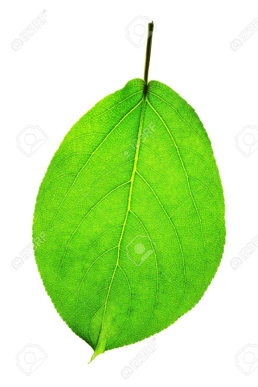 backlit shot of a leaf showing detail - 966703