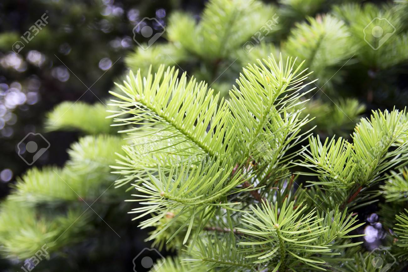 backlit fir branch on a forest background (shallow depth of field) - 1192541