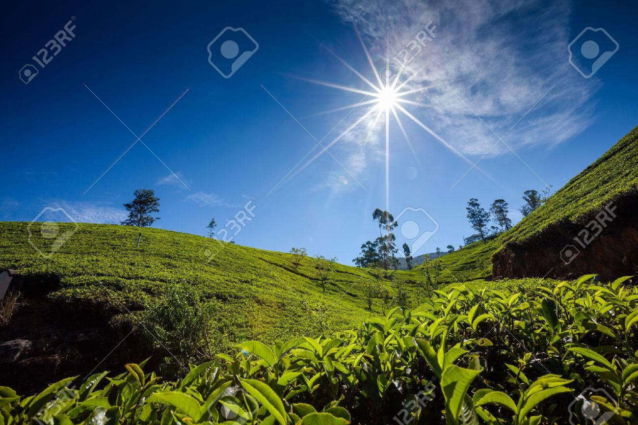Landscape with green fields of tea in Sri Lanka - 22451693