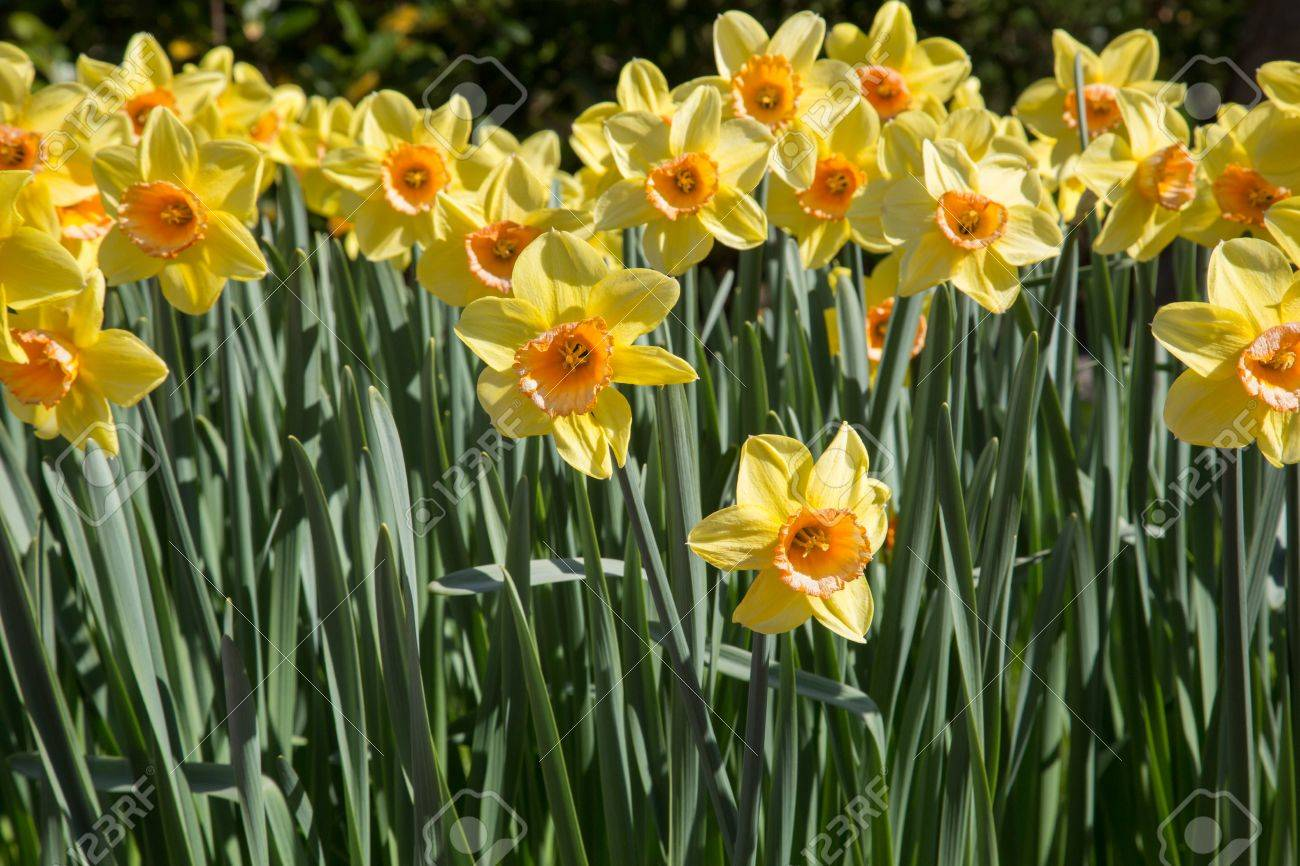 Narcis Flower In Keukenhof Stock Photo, Picture And Royalty Free ...