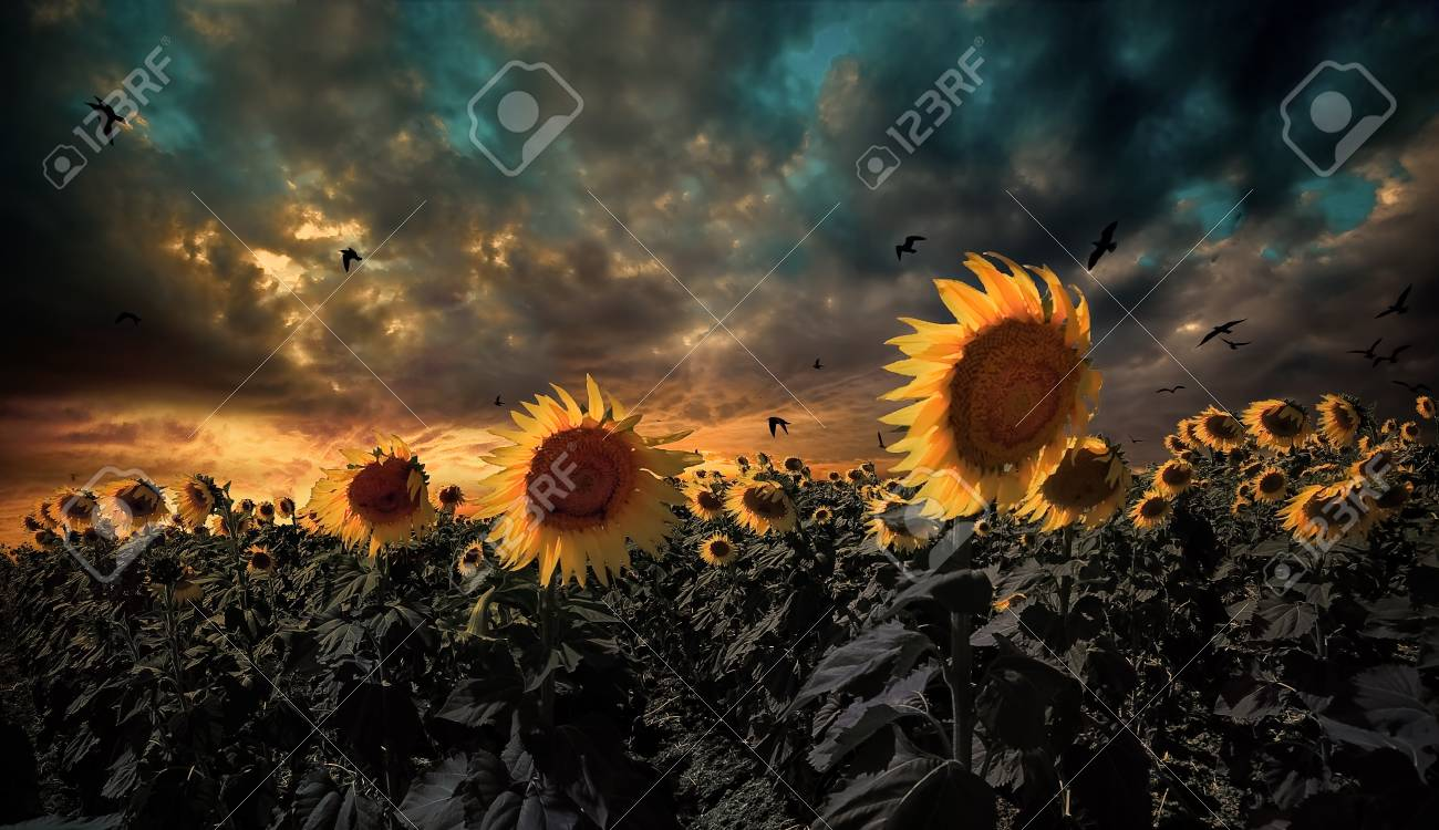 sunflower field Stock Photo - 26016775