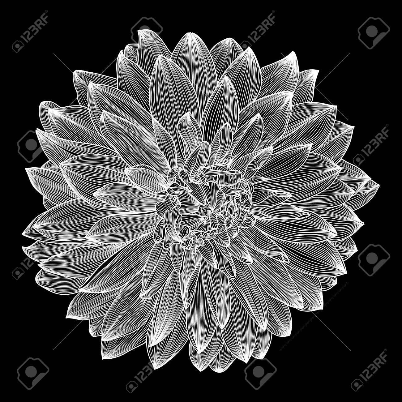 black and white drawing of dahlia flower. Element for your design, engraving style Stock Vector - 15555299