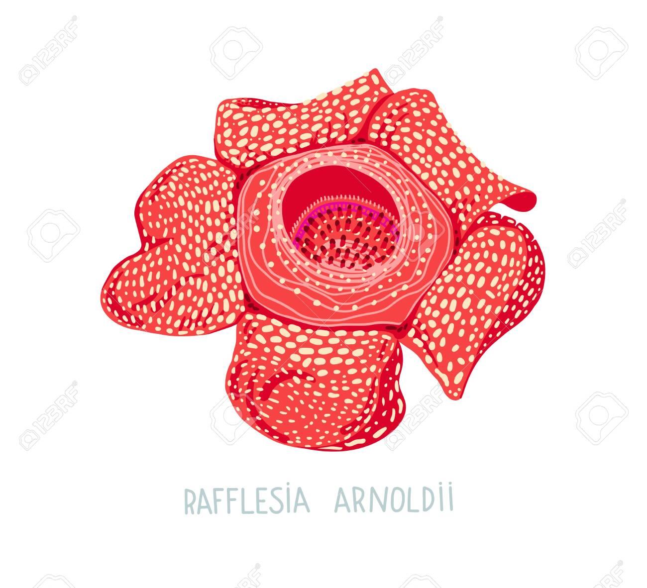 Free Rafflesia flower Vector Image - 1237936   StockUnlimited