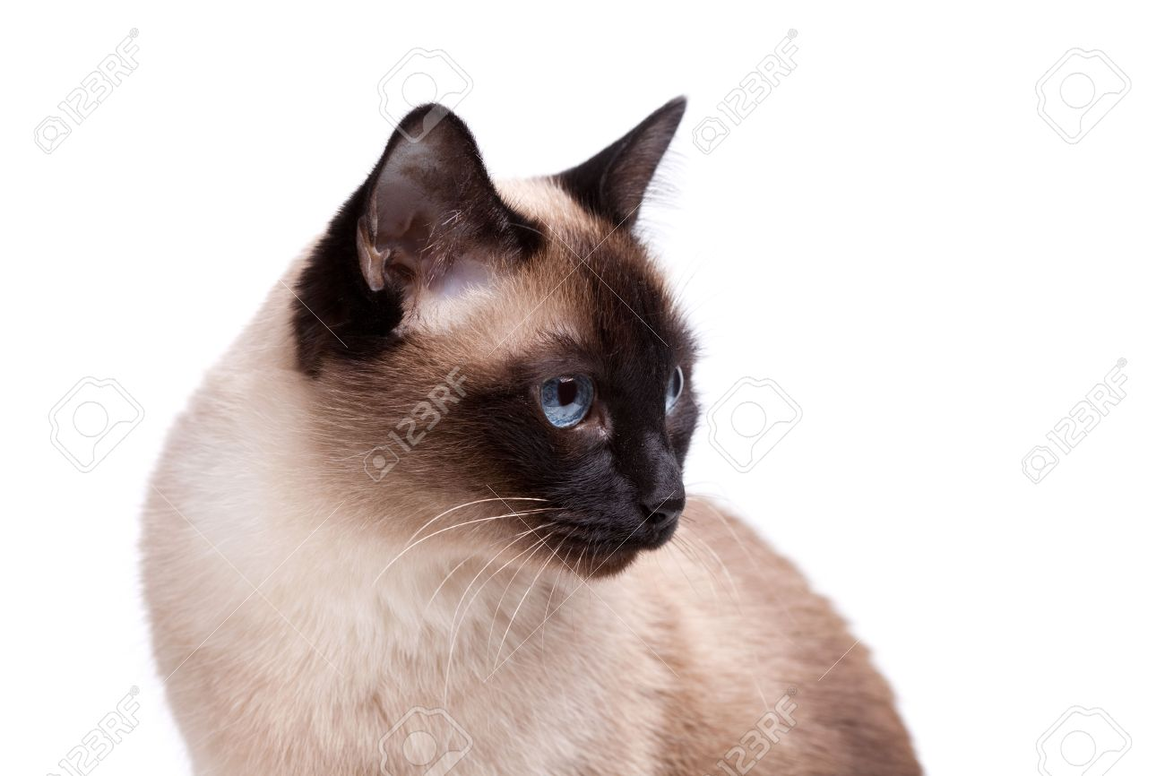 Siamese Cat With Blue Eyes Looks Right Isolated On White Background Stock Photo Picture And Royalty Free Image Image 6272739