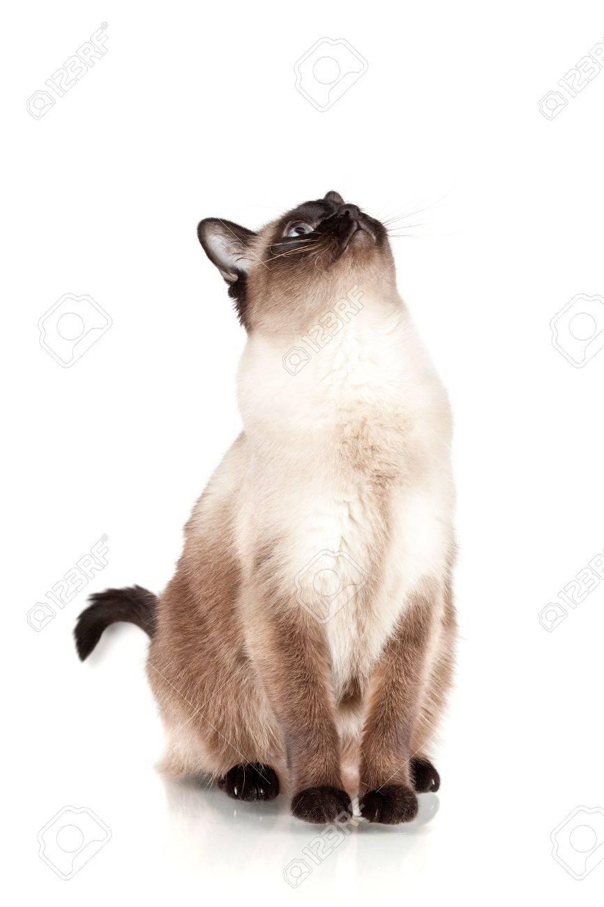 Siamese cat with blue eyes looks upwards isolated on white background Stock Photo - 6340317