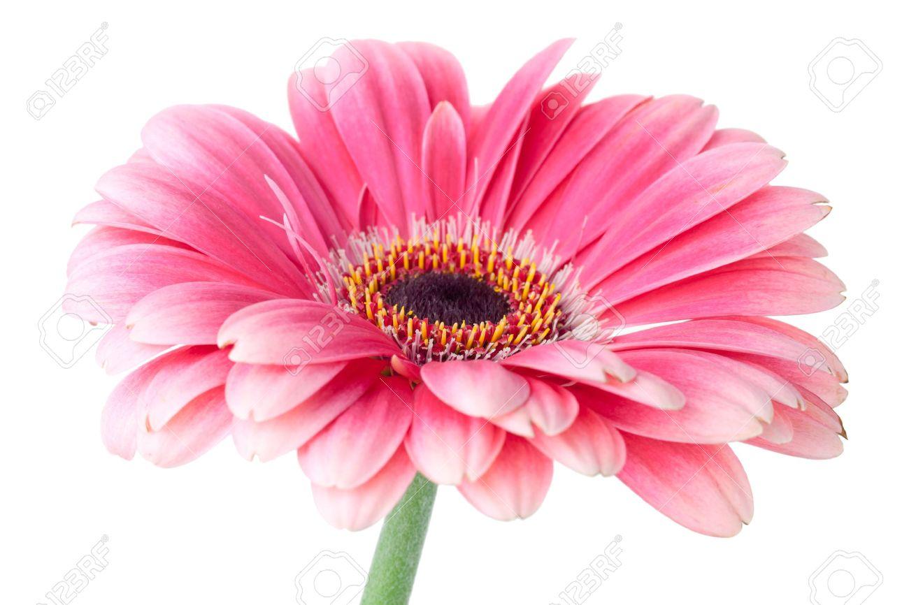 Fleur Rose Gerbera Sur Tige Gros Plan Isole Sur Fond Blanc Banque
