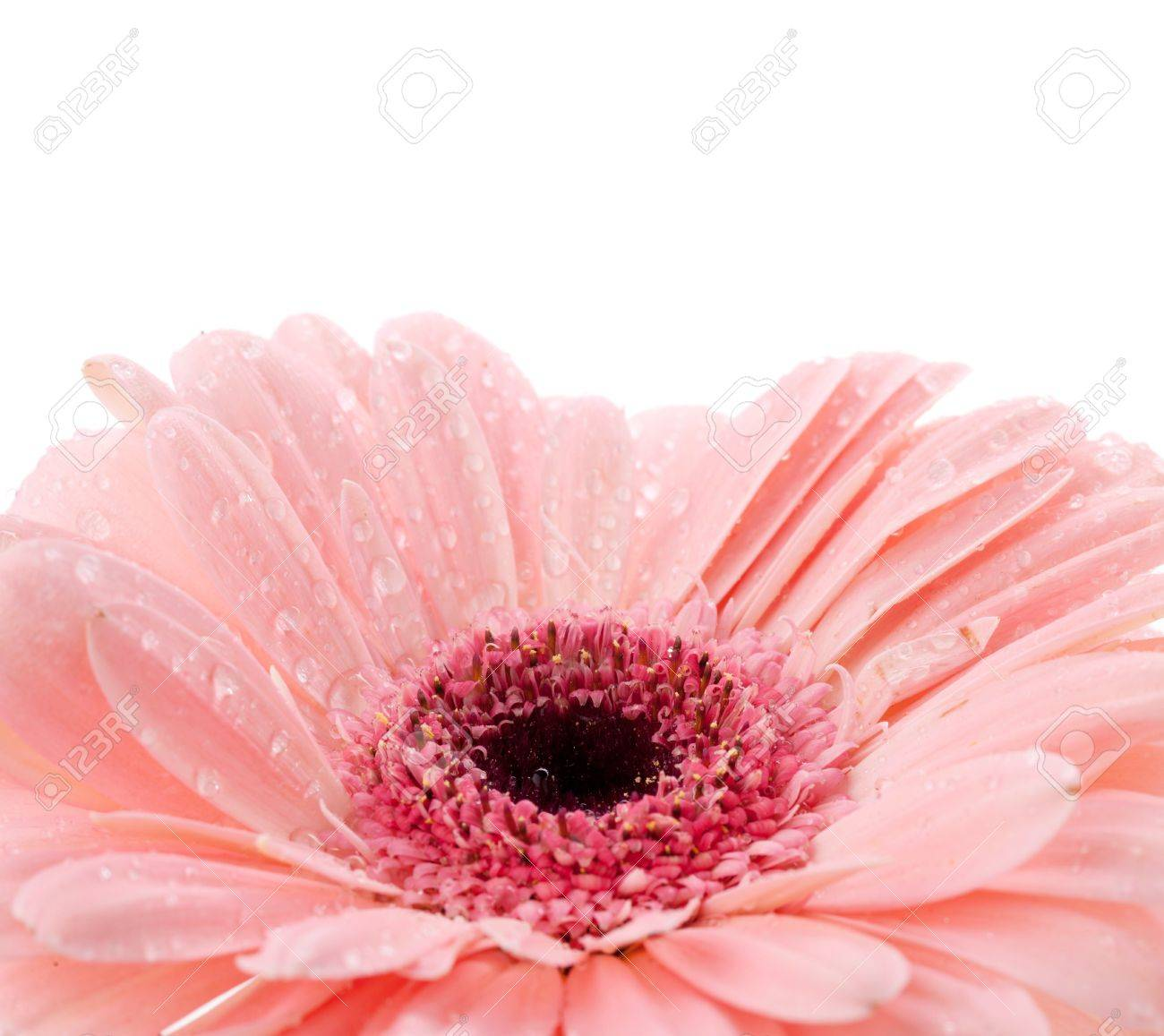 Pink gerbera with water drops. Isolated on white background Stock Photo - 9349565