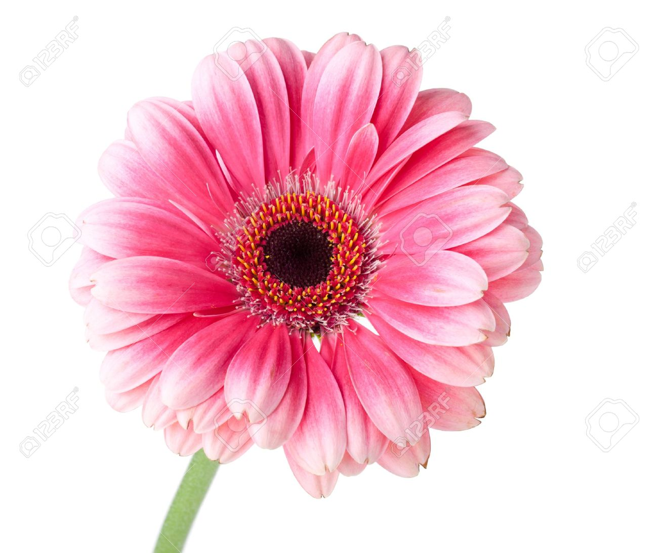 Pink gerbera flower on stem. Isolated on white Stock Photo - 9402312