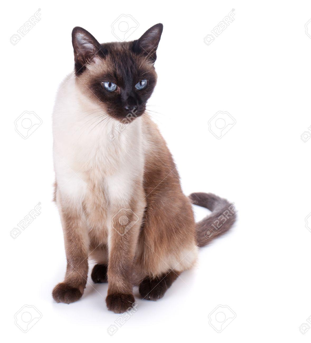Foto de archivo , Gato siamés. Aisladas sobre fondo blanco