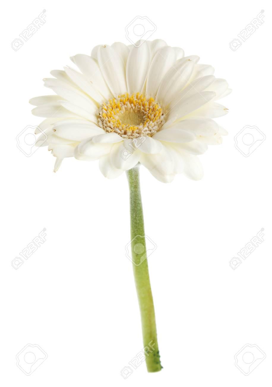 White Gerbera Flower Isolated On White Background Stock Photo
