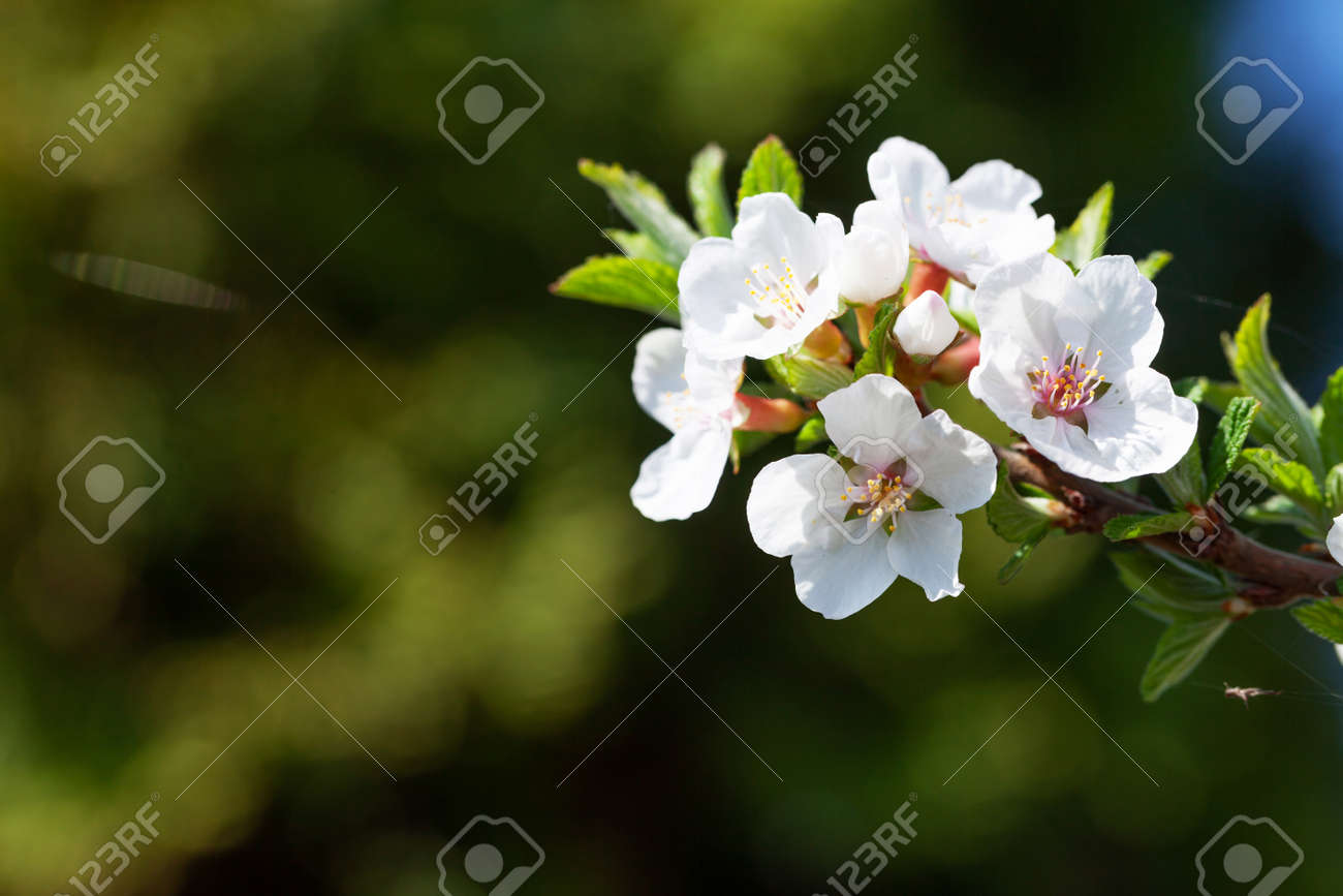 Cherry blossom spring tree. Summer background - 169549716