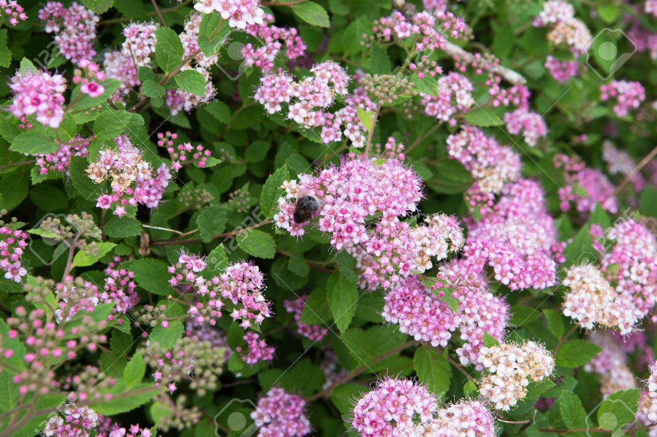 Japanese Spirea Of Pink Colour Shrub With Flowers Stock Photo