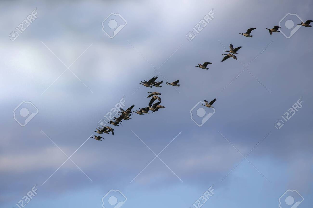 Thousands of geese migrate each year, many hunters await for flocks of Canadian geese - 128433043