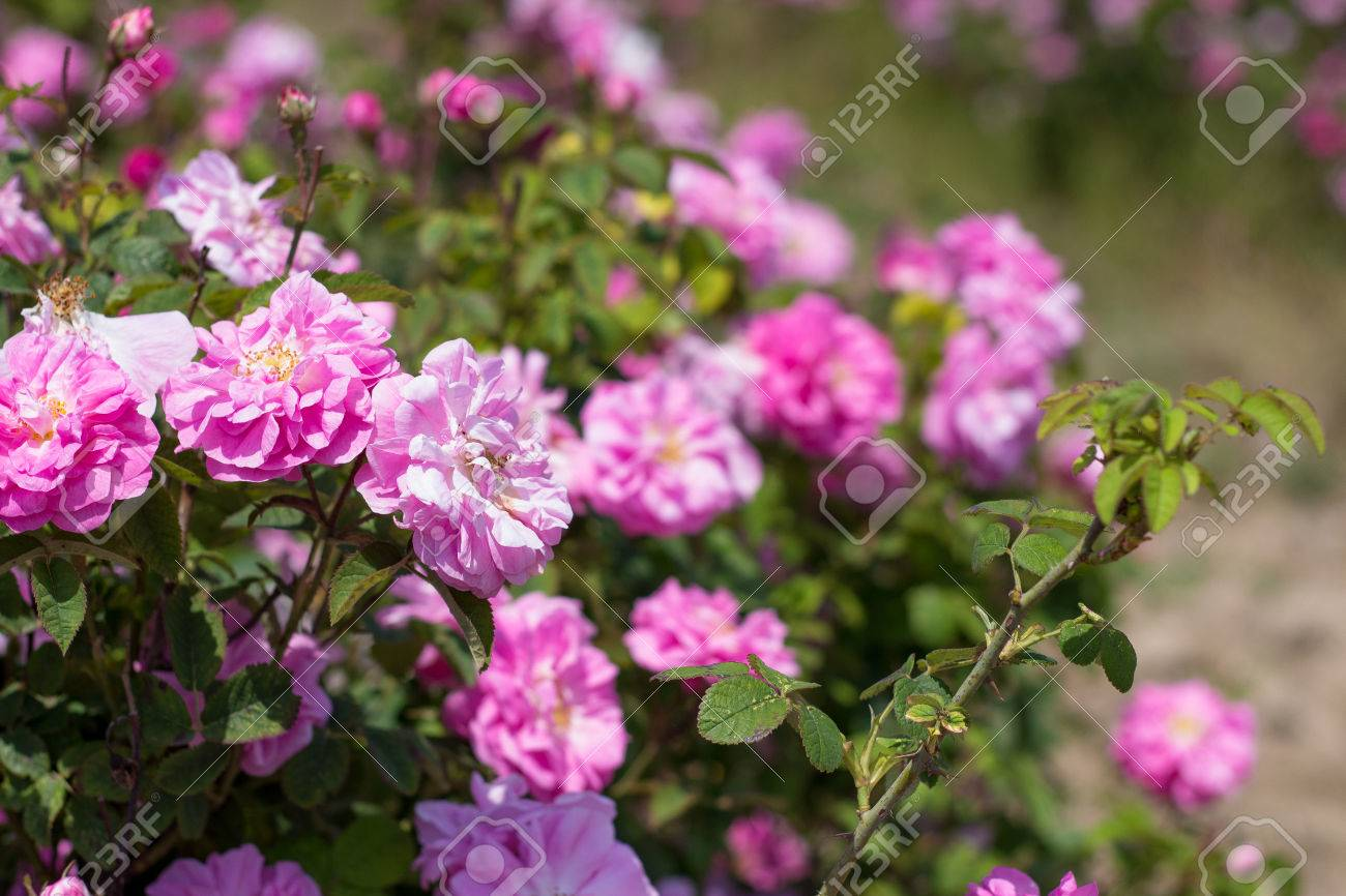 Il tunnel di rose rampicanti nella parte alta del giardino bild