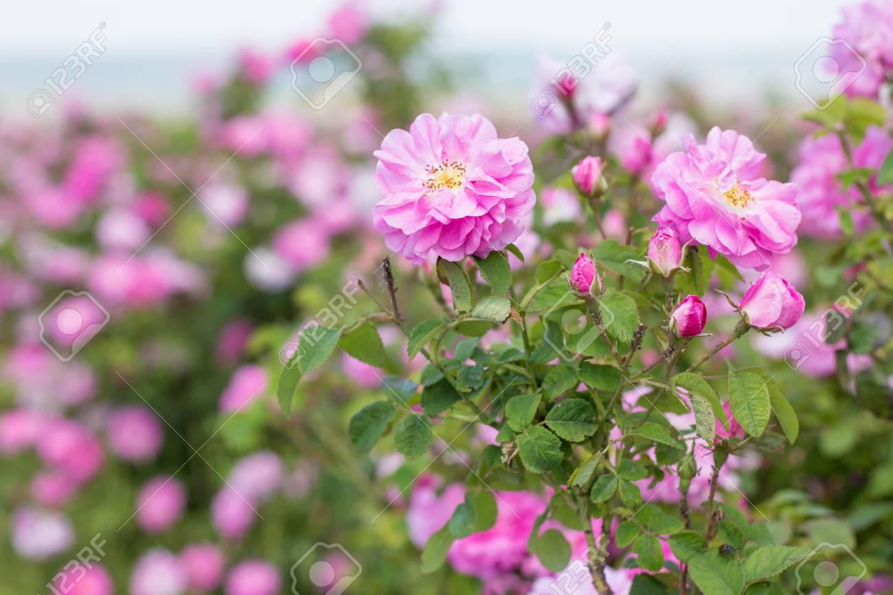 Giardino di rose stili di giardini la bellezze dei giardini di