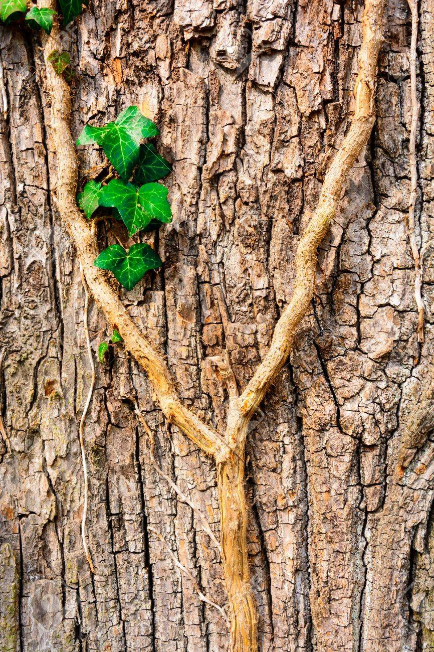 Background With Closeup Ivy On A Tree Trunk Growing Ivy Wallpaper