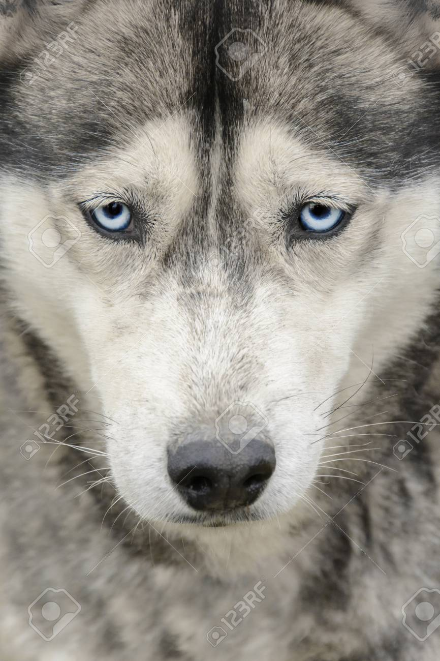 Portrait Of Siberian Husky With Blue Eyes Evil Eye Siberian Stock