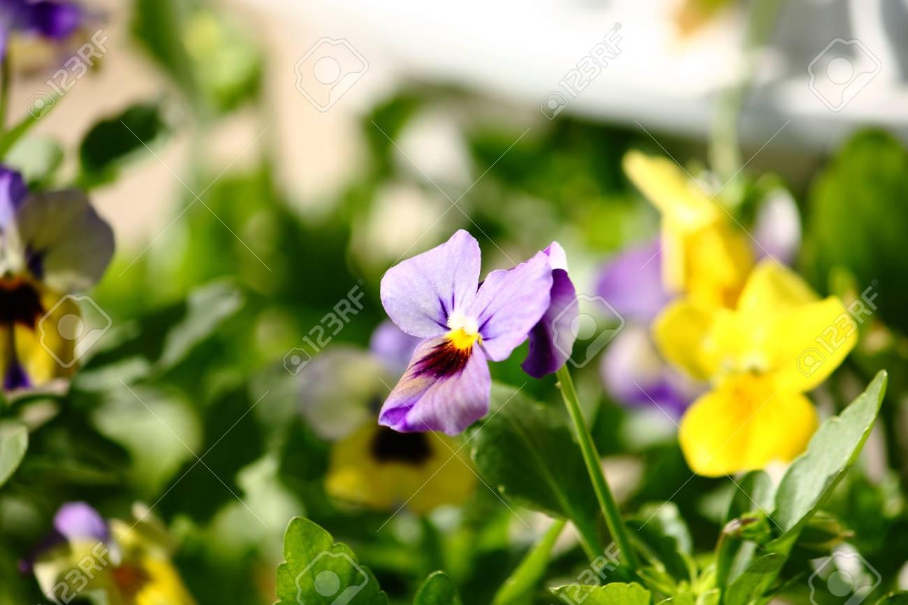 Delicate Spring Viola Flowers Stock Photo - 13135250