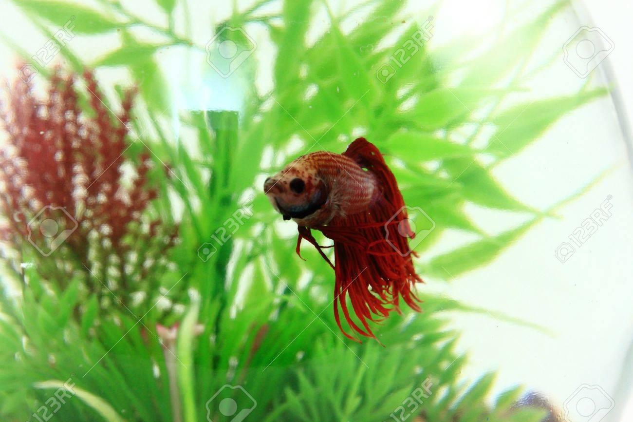 Red Beta Fish Swimming In Fishbowl Stock Photo - 14312875