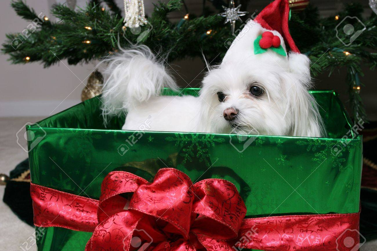 Maltese christmas ornaments - Santa Puppy In Gift Under The Christmas Tree Stock Photo 270694