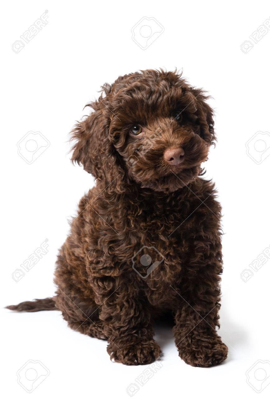 10 week old brown Labradoodle Mini Puppy dog
