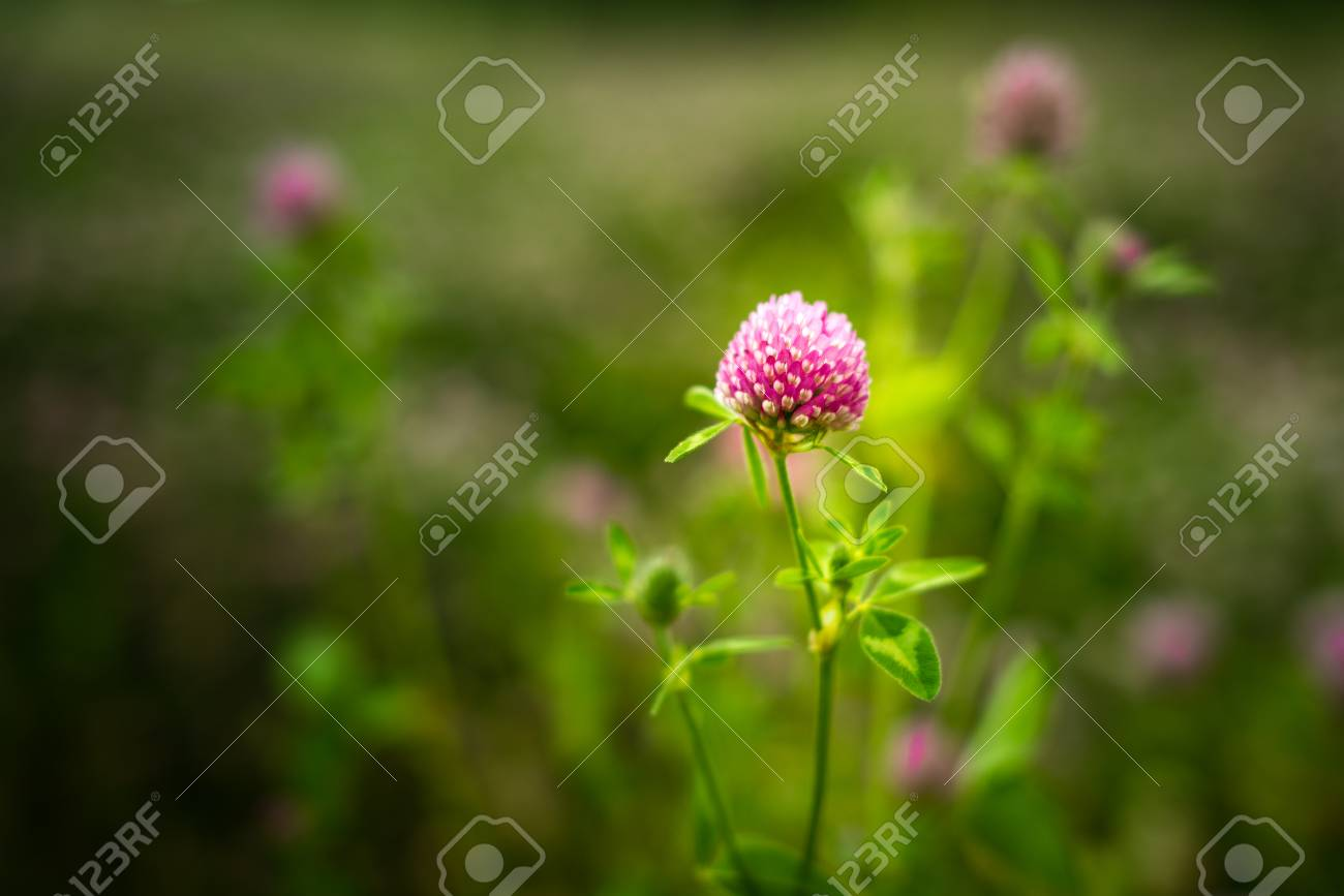 Purple Clover Flowers Trifolium Pratense Outside In A Field Stock