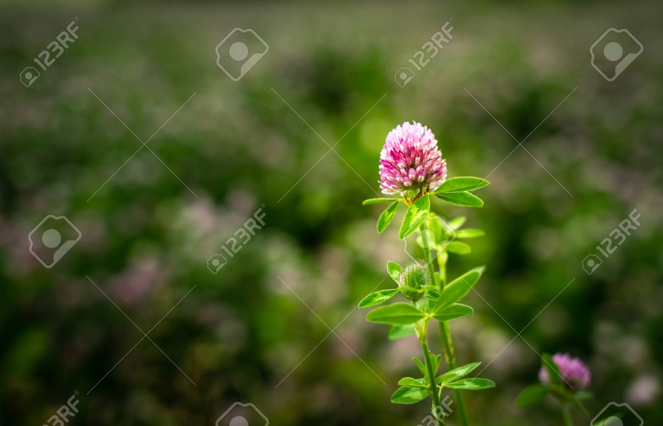 Purple Clover Flower Trifolium Pratense Outside In A Field Stock