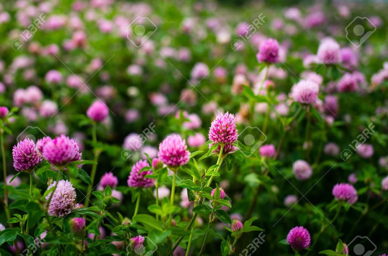 Purple Clover Flowers Trifolium Pratense Outside In A Field Stock